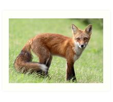 Red Fox From Cavendish Art Print