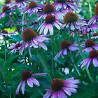 Echinacea Flowers by intfactory