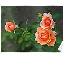 3 Peach Roses Poster