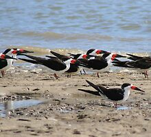 Black  Skimmers hunker down in the wind by kari kirby