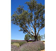 Gum tree among the lavender 3 Photographic Print