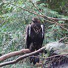 Golden Eagle by Soulmaytz