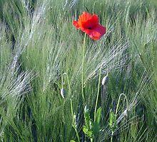 Poppy in morning dew by Marika Siegenthaler
