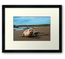 Female Northern Elephant Seal,  mirounga angustirostris, Framed Print