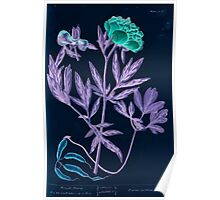 A curious herbal Elisabeth Blackwell John Norse Samuel Harding 1737 0172 Female Piony Peony Inverted Poster