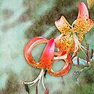 Wild Turk's Cap Lily by vigor