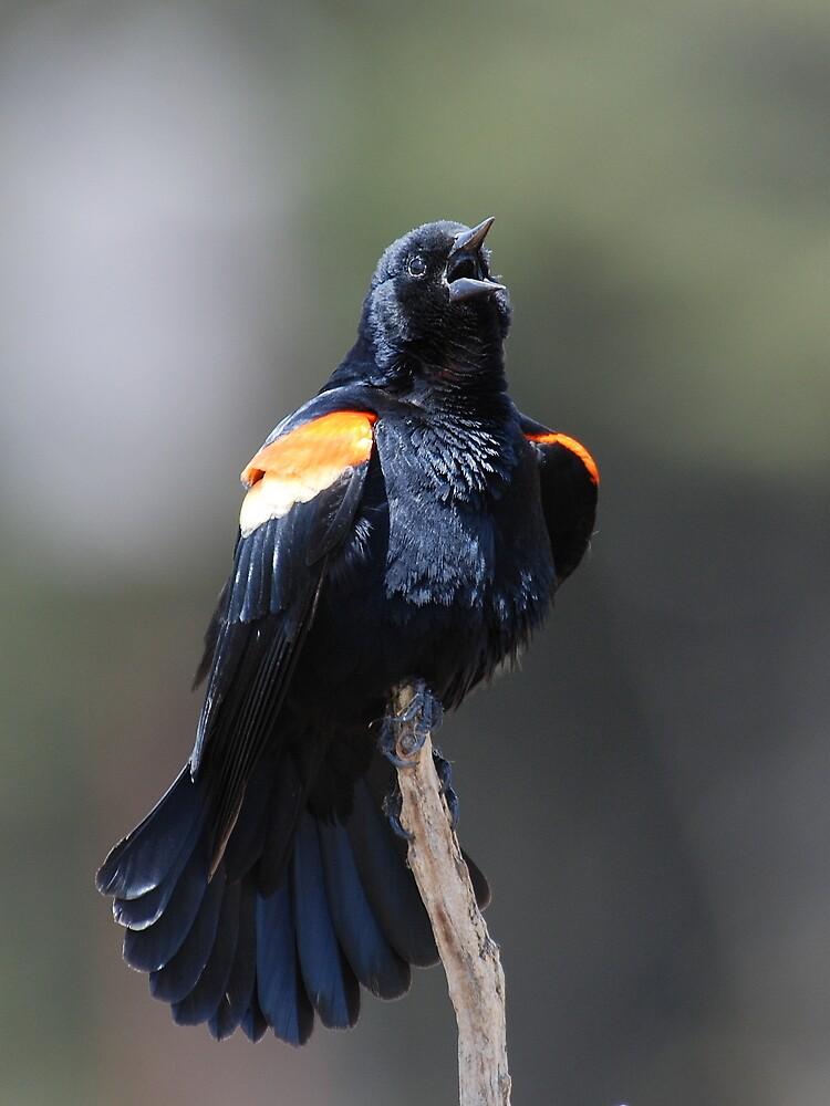 Red Winged Blackbird by Bertspix1
