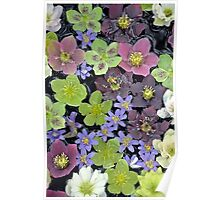 Colorful hellebore flowers Poster