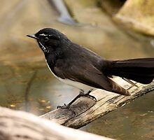 Willy Wagtail by burnettbirder