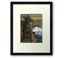 Baby Parma Wallaby Framed Print