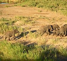 Elephants in a hurry, Chobe National Park, Zimbabwe by Margaret  Hyde