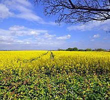 Rape seed field @ New Marske England by robwhitehead