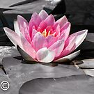 Waterlilly by DPalmer
