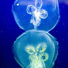 Jellyfish by Gene Walls