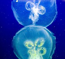 Jellyfish by Gene Walls