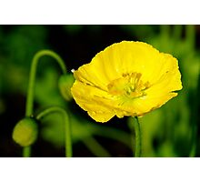 Yellow Poppy, One Tree Hill Photographic Print