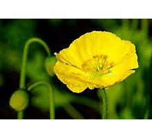 Yellow Poppy, One Tree Hill Photographic Print