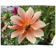 Dahlia and bee Poster