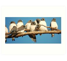 White-breasted Woodswallow Art Print