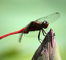 Dragonfly side profile by Martyn Baker | Martyn Baker Photography