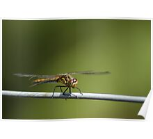 Dragonfly on a wire fence Poster
