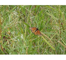 Butterfly reed Photographic Print