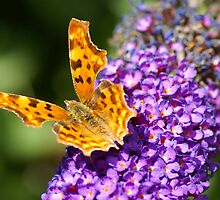 Comma butterfly by walstraasart