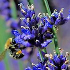 bee collecting pollen by Peter D