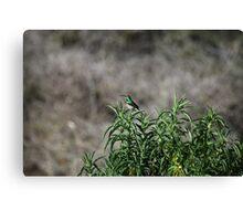 Sugarbird, South Africa Canvas Print