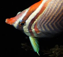rabbit fish tulamben bali by schwip