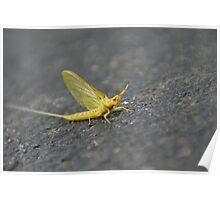 Yellow Drake Mayfly in Wakarusa Poster