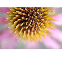 Take Echinacea To Prevent Colds Photographic Print