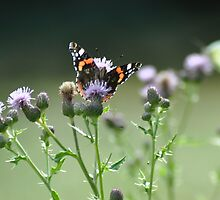 Red Admiral in the Thistle Patch by brianfuller75