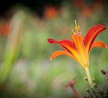 The Lovely Lily of Kew by DonDavisUK