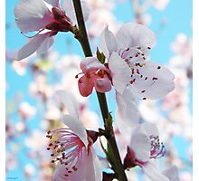 Peach Blossom Time Photographic Print