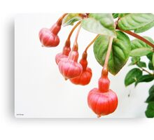 Hanging with Friends....Fuchsia triphylla Canvas Print