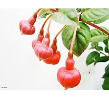 Hanging with Friends....Fuchsia triphylla Photographic Print