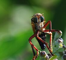 Robber Fly 2 by jphall