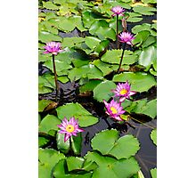 A beautiful water lily pond 3 Photographic Print