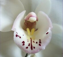 """White Orchid """"Touched byPurity"""" by Virinia  Downham"""