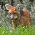 Red Fox - Vulpes vulpes by Matsumoto