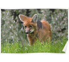 Red Fox - Vulpes vulpes Poster