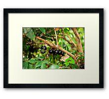 Jabotica Fruit Tree Framed Print