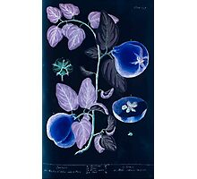 A curious herbal Elisabeth Blackwell John Norse Samuel Harding 1737 0352 Quince Quinces Inverted Photographic Print