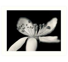 Cherry-blossom flower  Art Print