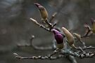 himalayan magnolia winter buds by dennis william gaylor