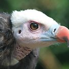 White headed Vulture  by DutchLumix