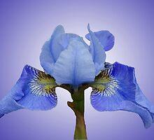 Iris by Marilyn O'Loughlin