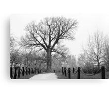 Centenary Oak Canvas Print