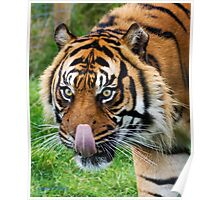 Nias Male tiger at WHF Poster